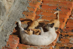 C'est l'heure de la tt... et du toilettage_IMG_6308 (Hlne (HLB)) Tags: cat cats chat chats katze katzen mother mre mutter tt allaiter feeding portugal cleaning kitten animal pet