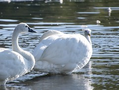 Gull-headed Swan (David Badke) Tags: colwood bc bird cryptozoology