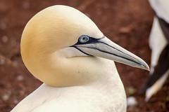 fou de bassan (morus bassanus) (G.NioncelPhotographie) Tags: fou bassan oiseau ornitho animaux pentax