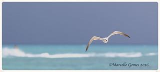 Laughing Gull (Leucophaeus atricilla) LAGU - Crusising the unusually turquoise waters...