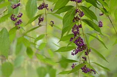 Early Amethyst (snowshoe hare*) Tags: dsc0124    earlyamethyst purplebeautyberry berries hiranoshrine kyoto