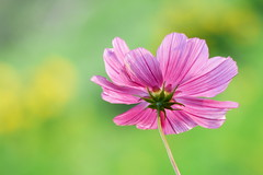 Cosmos (evisdotter) Tags: cosmos pink flower blomma light bokeh macro sooc ngc npc