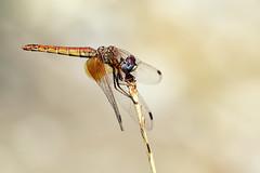 Trithemis kirbyi, female (Andreas Th. Hein) Tags: dragonfly dragonflies libellen libelle segellibelle insekten odonata libellulidae makro macro anisoptera