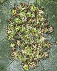 Parent Shieldbug Nymphs - Elasmucha grisea (Prank F) Tags: cambourne wildlifetrust cambsuk wildlife nature insect macro closeup bug shieldbug instar nymph 4th fourth final parent elasmuchagrisea