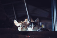 Gatetes (Yezrael Prez) Tags: gatetesgatos kittens kitten gatitos mascotas pets petlovers