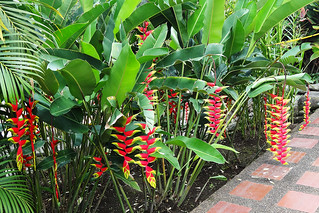 Heliconias / Colombia