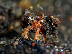 The backpacker (Christian Gloor (mostly) underwater photographer) Tags: hermit crab backpack mud muck diving underwater lembeh indonesia sulawesi nauticam olympus omd em5