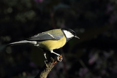 Great tit (david.england18) Tags: greattit smallbirds various tits blue coal great birdsuk canon7d canonef300mmf4lisusm queensparkheywood