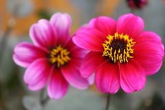 Dahlia (Kraf T Photography) Tags: flower flowers dahlia plants nature canon canon700d 700d photography