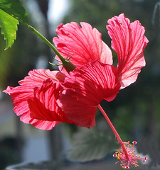 Like A Fallen Bird........... (Lochaven) Tags: light hibiscus tropical colorphotoaward nikonflickraward