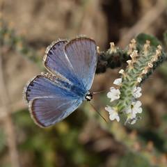 Plebejus argus ssp. hypochionus (Rambur, 1858), male- Silver-studded Blue (Peter M Greenwood) Tags: blue argus plebejusargus silverstudded silverstuddedblue plebejus plebejusargusssphypochionus hypochionus plebejusargushypochionus