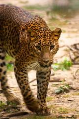 Panthre [ Explore ] (Phil du Valois) Tags: nature wildlife explore parc flin panthre lopard explored flins parcdesflins