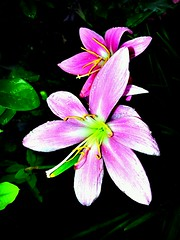 Beauty (Rudra21) Tags: flower nature samsung gt   n7000  flickrandroidapp:filter=berlin