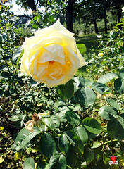 Roses - Hybrid tea rose Maid of Honour' - Rosaceae SC20120826 306 (fotoproze) Tags: roses canada rose quebec montreal rosen gl rosas rozen 2012 roser    rosor mawar jardinbotaniquedemontral rsir re re  montrealbotanicalgardens trandafiri arrosak ruusut hoahng       rue    rzsk queenrose vrtnice ris  rhosynnau