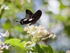 Red Helen (Polotaro) Tags: nature pen butterfly bug insect olympus 自然 zuiko ep1 虫 蝶 昆虫 ペン チョウ オリンパス gzuiko50mmf14 モンキアゲハ ズイコー