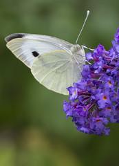 Eye of the butterfly (Emmanuel Cateau) Tags: flower macro eye fleur yellow butterfly bug oeil papillon insecte