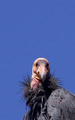 "California Condor (Gymnogyps californianus) (Gregory ""Slobirdr"" Smith) Tags: bird nature wildlife bigsur vulture endangered californiacondor"
