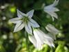 angled onion (Allium triquetrum)