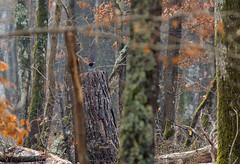 Pic noir (JeanJoachim) Tags: bird pássaro aves fugl oiseau vogel uccello ptak fågel lintu птица blackwoodpecker dryocopusmartius piciformes picidae pentaxk20d バード smcpentaxda300mmf4edifsdm picnoir