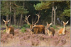Hertenbronst 2012 (Wim Boon (wimzilver)) Tags: nature netherlands nederland natuur 7d reddeer veluwe hogeveluwe cervuselaphus edelhert nationalparkdehogeveluwe wimzilver canon300mmf4lis14ex hertenbronst hertenbronst2012 achtergrondfacebook