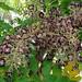 flowers and seeds of Aralia elata / Japanische Aralie