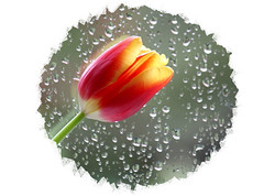 Hope through the tears... (Judy's Wildlife Garden) Tags: tulip raindrops multiplemyeloma judykennett knightonpowys hopethroughthetears