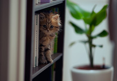 The Daisy Archives - 5 (torode) Tags: pet japan cat tokyo kitten bookshelf shelf daisy   potplant