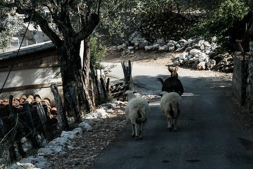 Mule&sheeps