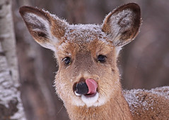 White-tailed Doe...#18 (baby it's cold outside) (Guy Lichter Photography - Thank you for 2.5M views) Tags: canada animals canon winnipeg wildlife manitoba deer alberta mammals fortwhytecentre 50d canonef400mmf56l deerwhitetailed deerwhitetail amazingwildlifephotography