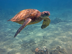 looking and swimming (bluewavechris) Tags: ocean life blue sea brown green nature water animal swim canon hawaii underwater snorkel turtle reptile wildlife marin dive shell maui scales creature flipper freedive g1x