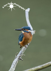 KIngfisher Watch (Adobe Man) Tags: blue colour bird horizontal closeup outdoors photography day branch wildlife yorkshire fulllength nopeople kingfisher aquatic perching oneanimal lookingatcamera lookingovershoulder focusonforeground