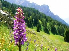 Colori e Panorami (Marina Grispo) Tags: panorama mountain flower montagne alpina orchidaceae fiori colori luce dolomiti parto bosco orchidea conifere trentinoaltoadige abetina adamellobrenta