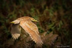 My Favorite Little Heron (Jerry_a) Tags: heron birds birdinflight blackcrownednightheron bombayhook canon7d