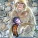 El Macaca Sylvanus, (Barbary Apes).Monos de Gibraltar