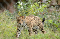 Jaguar (mellting) Tags: sweden jaguar eskilstuna 70300 pantheraonca parkenzoo flickrbigcats mygearandme d7000sigma ellting 456melltingmats jaguarfemale bigcatobloggadnikonnikon