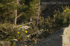 """Mountain Bluebird • <a style=""""font-size:0.8em;"""" href=""""http://www.flickr.com/photos/63501323@N07/8048308738/"""" target=""""_blank"""">View on Flickr</a>"""