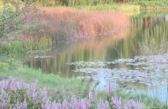 Summer is Almost a Faded Memory (Cher12861) Tags: flowers summer nature water fleur beauty reflections garden landscape flora soft blossoms beautifullight pastels grasses dreamlike waterscape chicagobotanicgarden glencoeillinois impressionistlike lilypadswater makemoocard september2012 thisismylastinthisseries