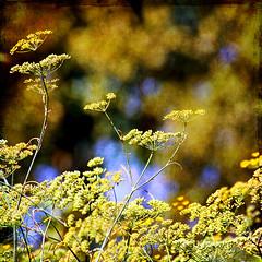 her secret is patience (1crzqbn) Tags: blue sunlight color texture nature yellow square shadows bokeh 7d ie fennel legacy shining mfcc tualatinhillsnaturepark hbw artdigital trolled bokehwednesday hersecretispatience oracosm magicunicornverybest magicunicornmasterpiece fleursetpaysages exoticimage 1crzqbn bestofshining galleryoffantasticshots