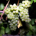 2012 Cal Plans Woods Chardonnay Harvest 0002