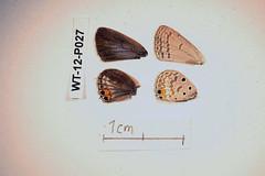 WT-12-P027 Euchrysops osiris (lepdatabase) Tags: kenya osiris lycaenidae polyommatinae polyommatini lepidochrysops euchrysops