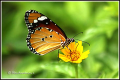 2514 - plain tiger (chandrasekaran a 560k + views .Thanks to visits) Tags: india nature butterfly insects chennai plaintiger thegalaxy canon60d blinkagain