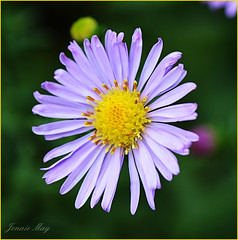 Michaelmas daisy (jenniemay2011) Tags: flower nikon asteraceae michaelmasdaisy beefriendly d5100