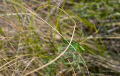Katydid (austinbutterfield) Tags: park macro nature closeup insect nebraska wildlife grasshopper prairie katydid entomology