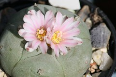 Lophophora williamsii (blumenbiene) Tags: cactus flower blüte kaktus lophophora williamsii