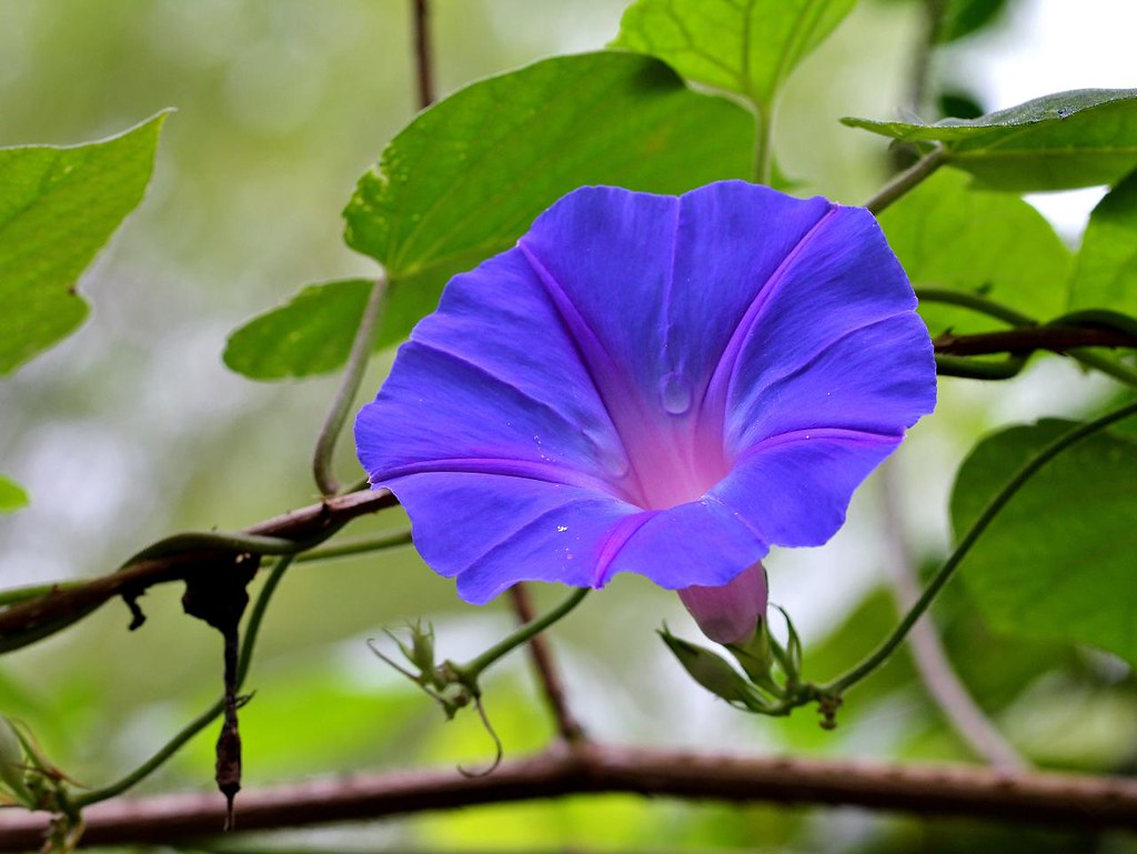 The Worlds Best Photos Of Ipomoea And Jetiran Flickr Hive Mind