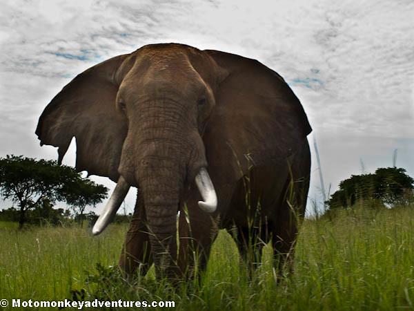 Wet Behind The Ears Elephant