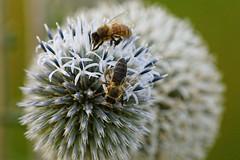 Bees working (Jurek.P) Tags: nature bees thistle flowers summer closeup macro meadow jurekp sonya77