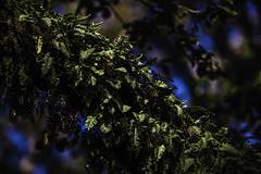 Ferns On A Live Oak (Mabry Campbell) Tags: 2016 april harriscounty houston mabrycampbell northblvd southblvd texas usa unitedstates unitedstatesofamerica westuniversity branch branches commercialphotography fern ferns fineart fineartphotography green image intimatelandscape landscape liveoak liveoaktrees nature oaktrees photo photograph photographer photography tree trees f28 april222016 20160422campbellh6a5359 200mm sec 100 ef200mmf28liiusm