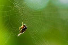 Deadly meeting (jarkko.sairanen) Tags: spider fly net nature bug nikon d5300