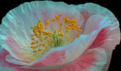 Close up (12bluros) Tags: flower floral macro flora poppy nybg newyorkbotanicalgarden canonef100mmf28lmacroisusm closeup pistil stamen petals white pink 1001nights 1001nightsmagiccity